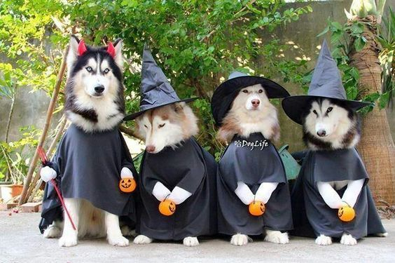 13 Awesome Halloween Costume Ideas For Your Husky Dog Costumes