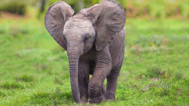 Elephant Baby High Definition Wallpapers Hd Wallpapers Cute Baby Elephant Elephant Wallpaper Baby Animals