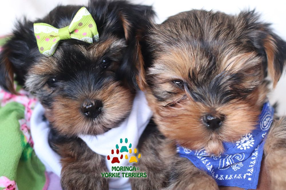 Available Yorkie Terrier Puppies Parti Yorkie Puppies Chocolate Yorkie Puppies Merle Yorkie Puppies Socal Y Teacup Yorkie Puppy Yorkie Puppy Yorkie Terrier