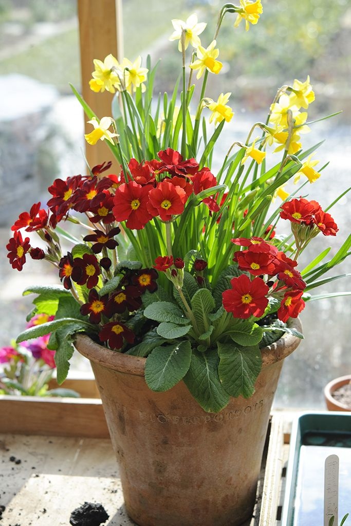 Daffodil And Primula Pot Display The Contained Gardener