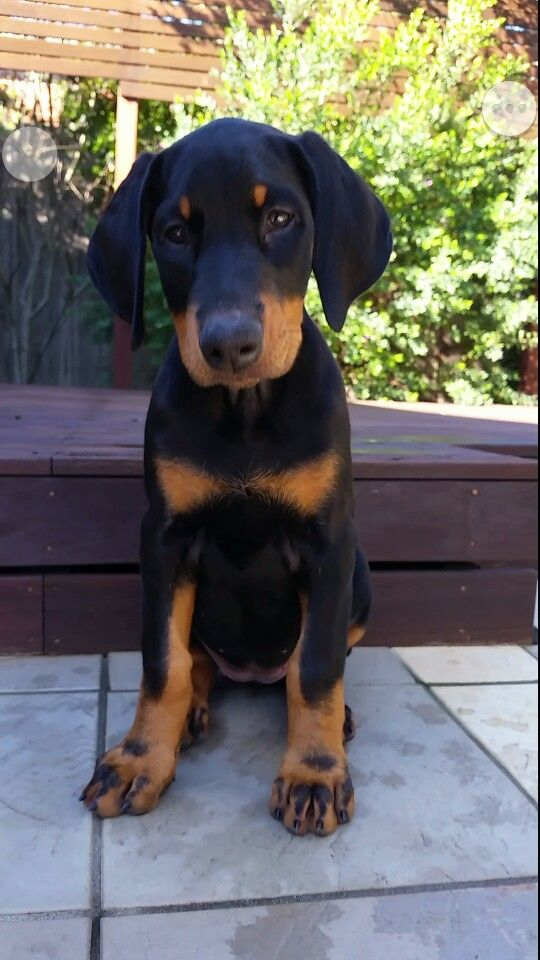 Doberman Pinscher Puppy Dogs Doberman Pinscher Puppy Doberman