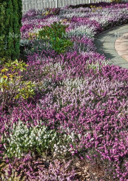 Heather Garden With Multicolored Calluna Heather Gardens Landscaping With Boulders Rockery Garden