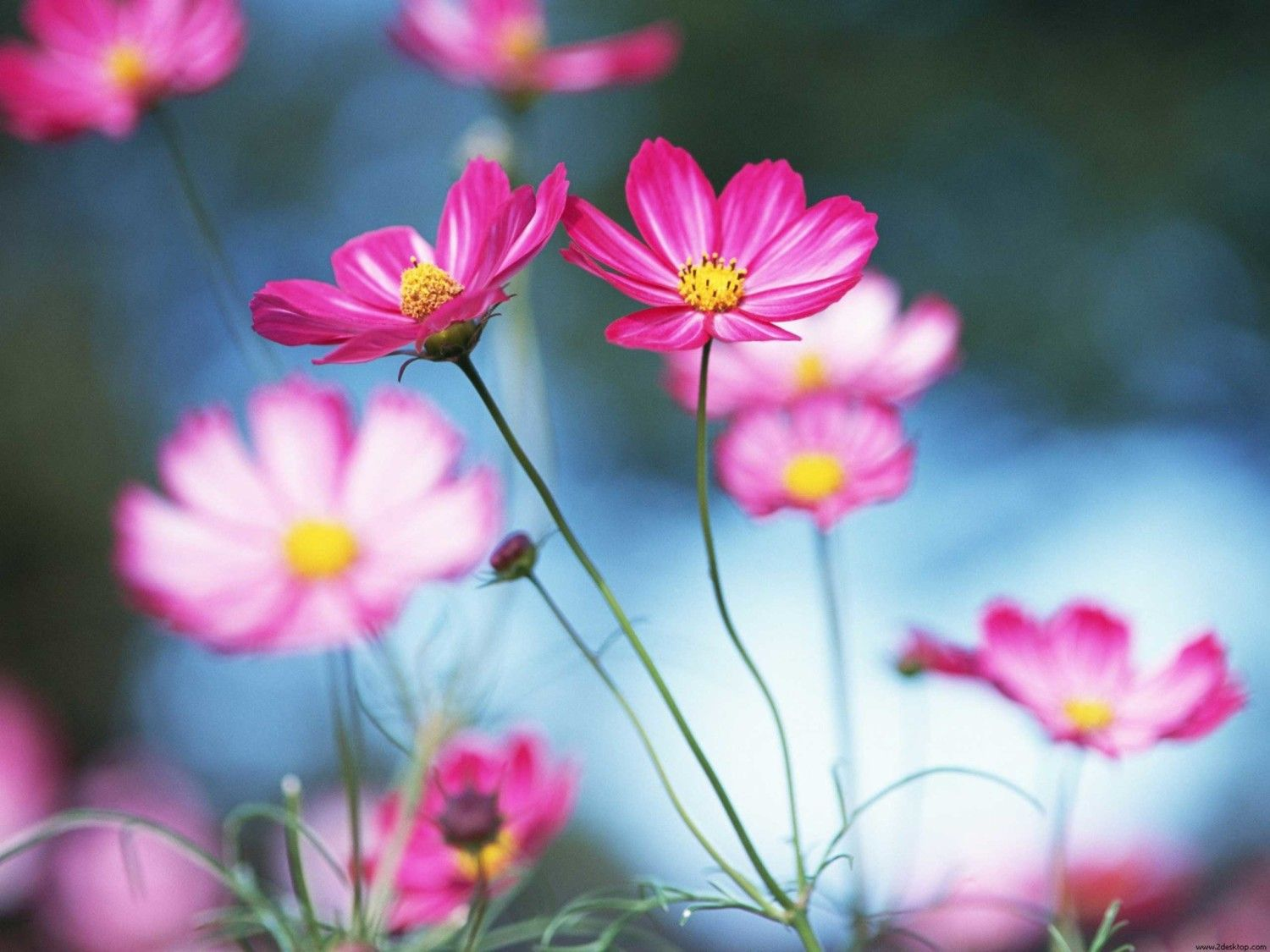 Cosmos Flower Meaning Flower Meanings Pictures And Photos Cosmos Flowers Flowers Photography Beautiful Flowers Pictures