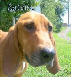 Katelin-SEBR-TN is an adoptable Bloodhound Dog in Georgetown, KY. Hi! My name is Katelin. I am altered and up to date on all shots and heartworm negative. A FENCED YARD IS A MUST TO ADOPT ME. I am new...