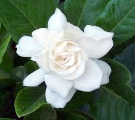 August Beauty Gardenia Cape Jasmine Live Plant Trade Gallon Pot In 2020 Gardenia Bush August Beauty Gardenia Edible Flowers