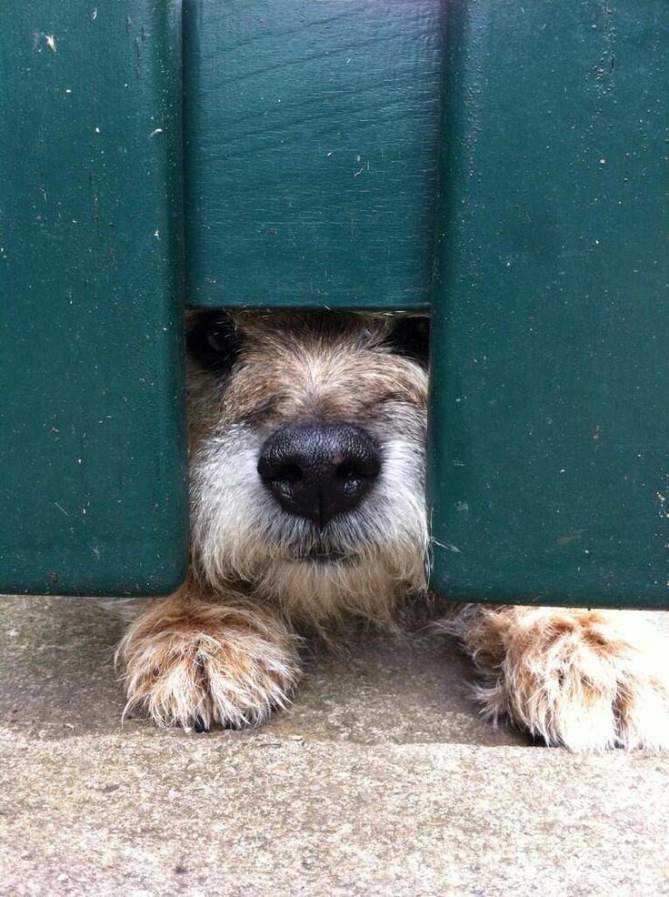 Norfolk Terrier Santa Stop Here Sign