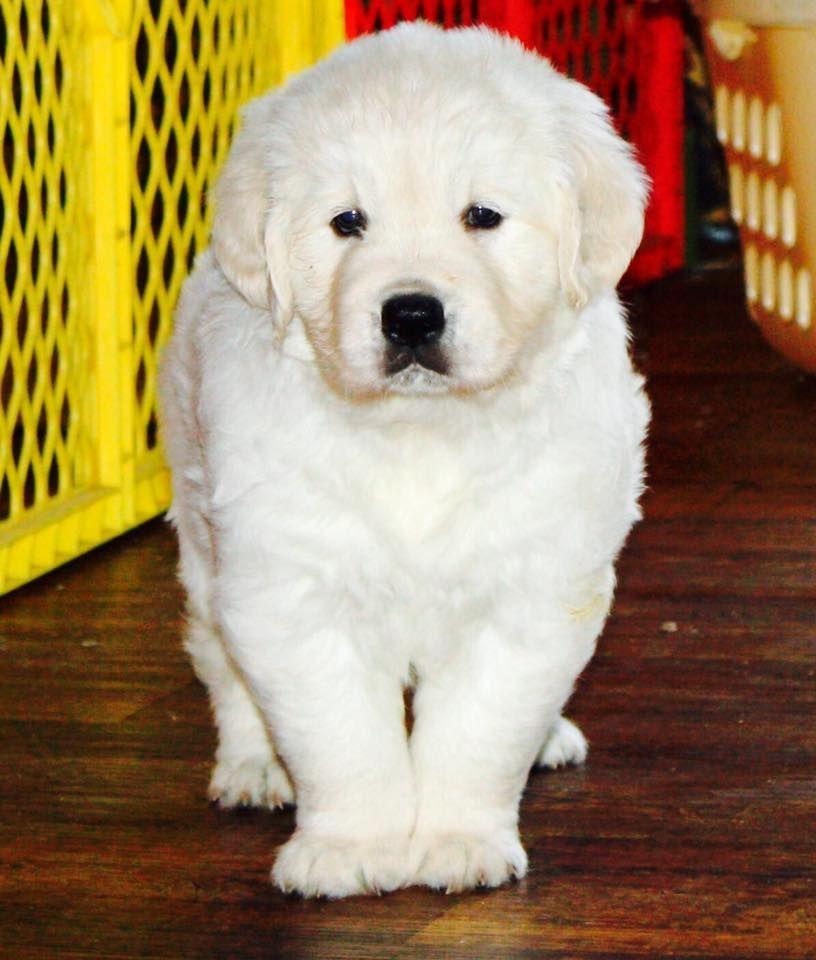 White English Golden Retriever Puppy Puppies Available English Cream Golden Retrievers Golden Retriever Golden Retriever Cartoon Retriever