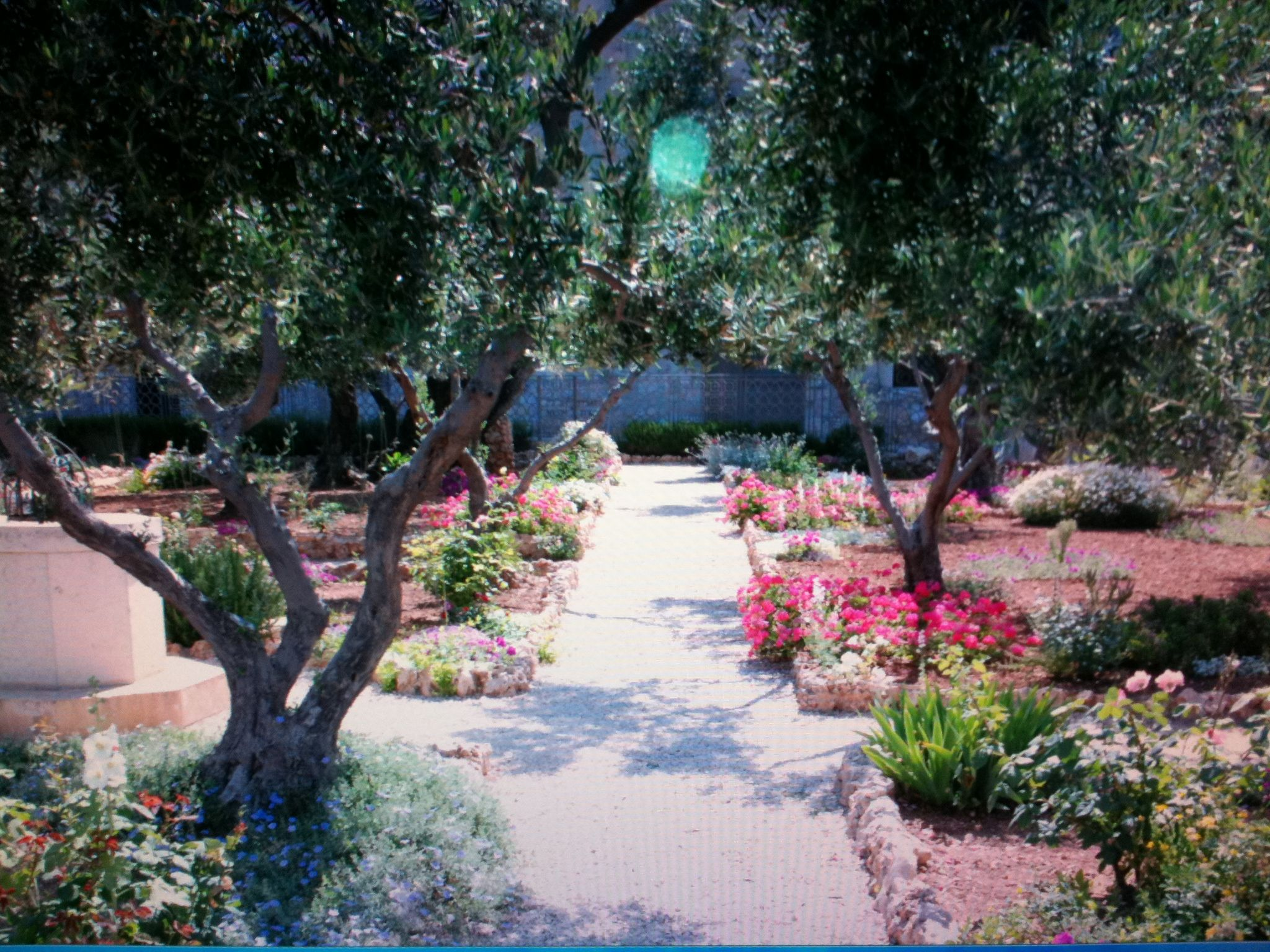 Old olive trees flowers in the garden of gethsemane in for Age olive trees garden gethsemane