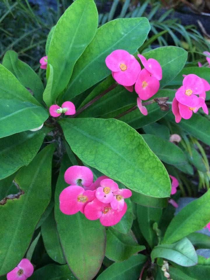 Euphorbia Milii Euphorbia Euphorbia Milii Beautiful Flowers