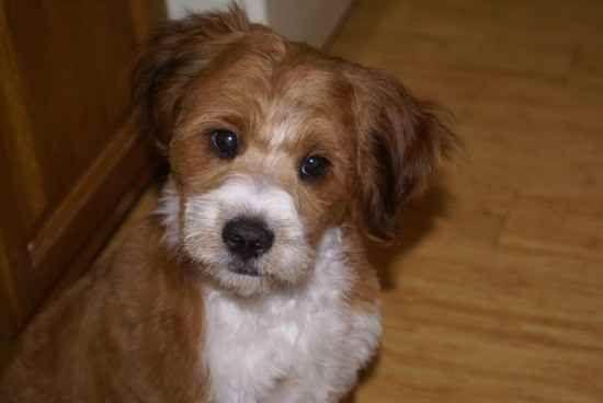 Corgipoo Information And Pictures Corgipoo Hybrid Dogs