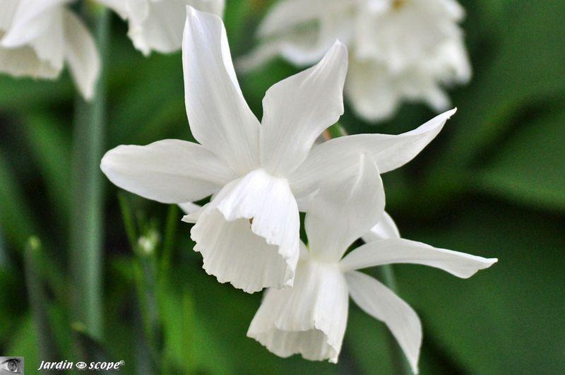 Ces Narcisses Eclairent Un Coin Ombrage Du Jardin Le