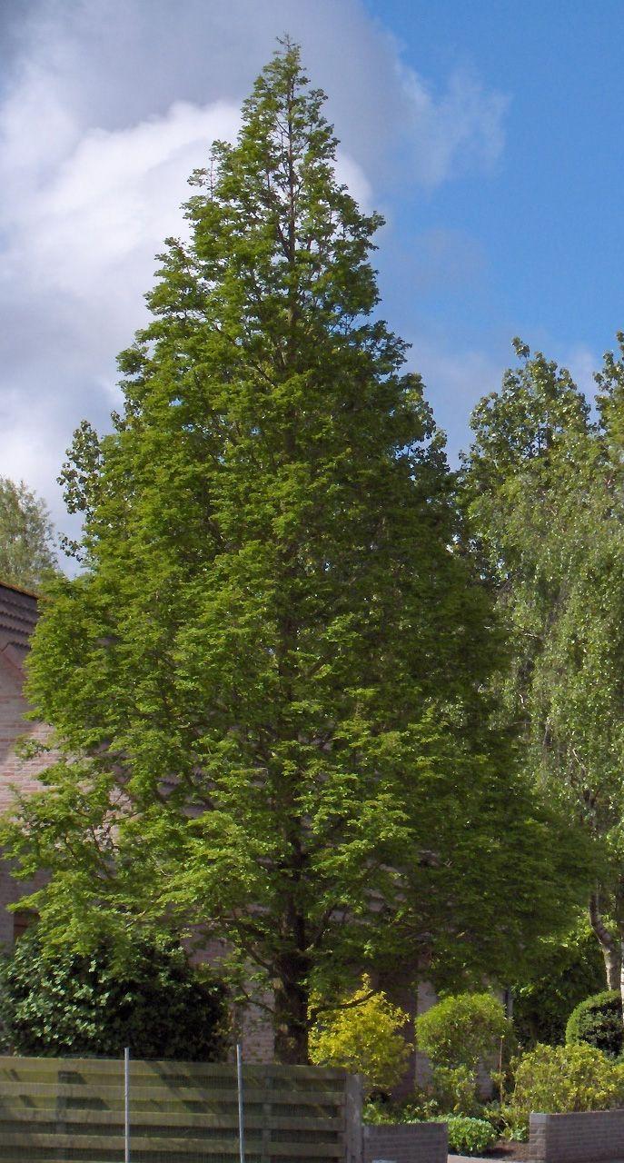 Metasequoia glyptostroboides - Dawn Redwood - yep, these ...