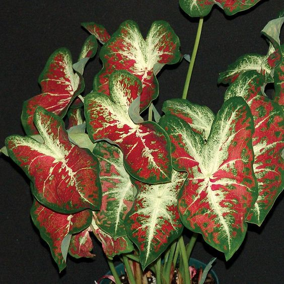Caladium Creamsickle Care Tips Https Www Houseplant411
