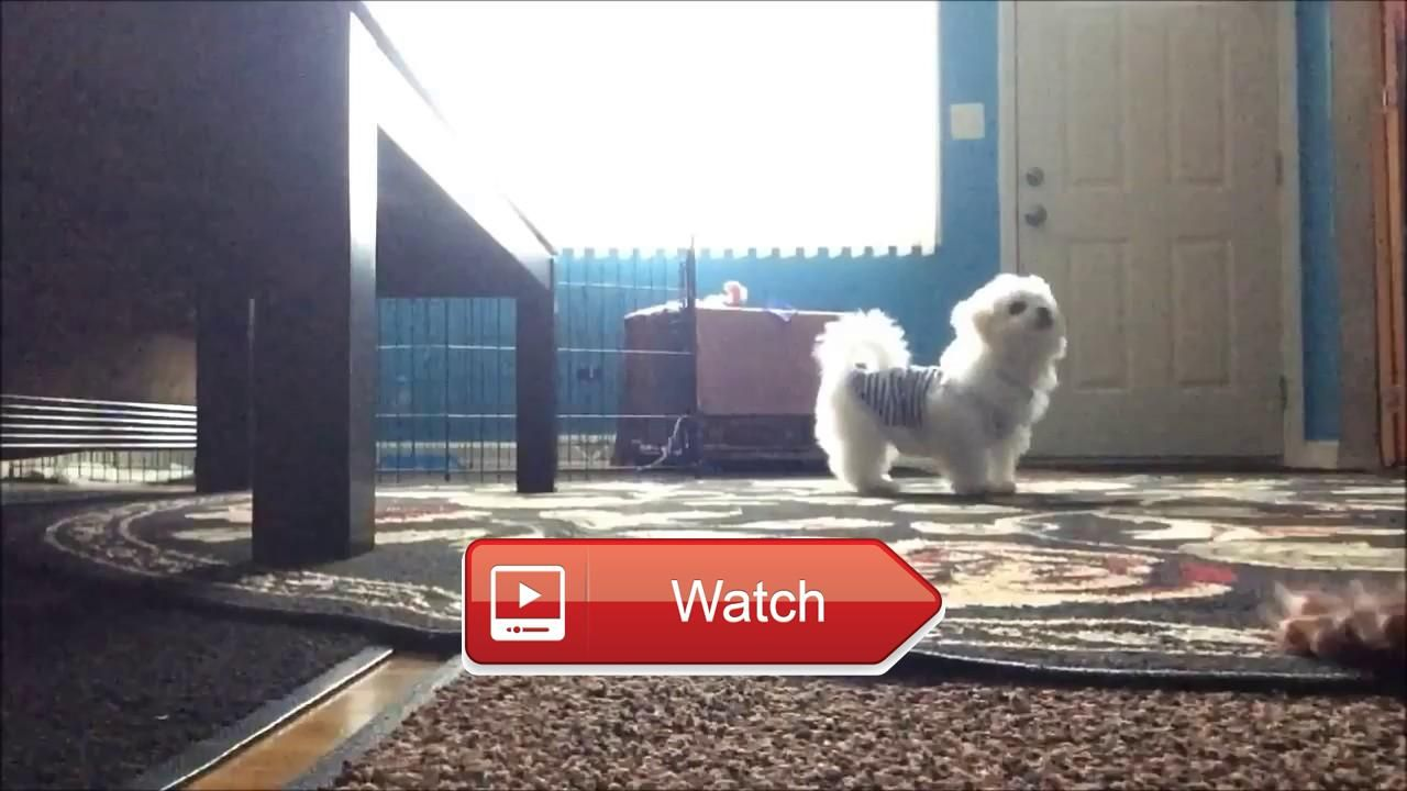 🐶 puppy training and doing namaste Havanese Dog Training Dog training Namaste Havanese are both intelligent and highly motivated to…