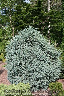 Picea Engelmannii Compacta