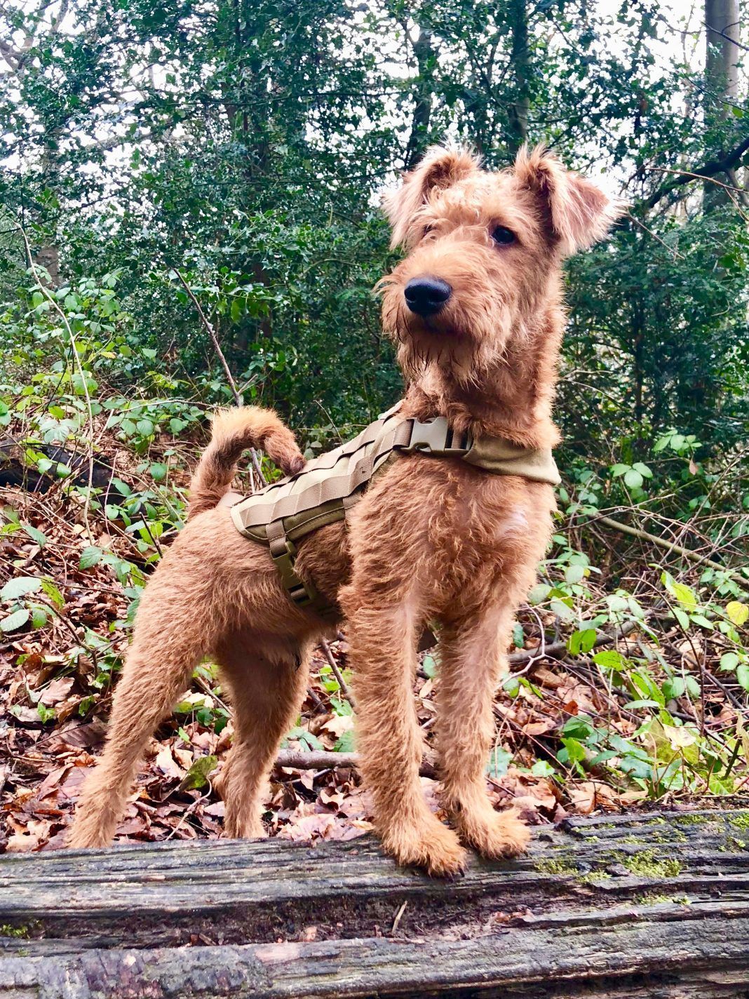 The Irish Terrier Is One Of The Top 10 Native Irish Dog Bree The Irish Terrier Is One Of The Top 10 Native Irish Dog Bree In 2020 Irish Dog Breeds Irish