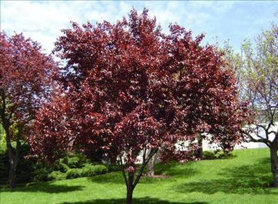 Purple Leaf Plum Prunus Cerasifera Thundercloud Http
