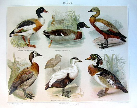 1894 antique ducks print vintage fine by LyraNebulaPrints on Etsy, $34.95