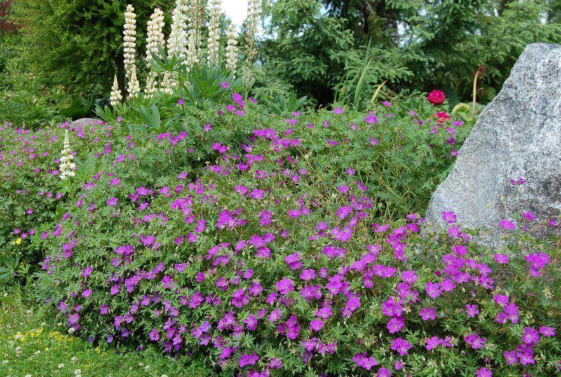Verikurjenpolvi Geranium sanguineum