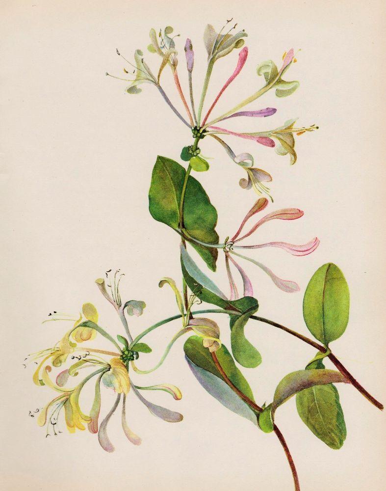 Vintage Botanical Honeysuckle Print White Flower Gallery Wall Art