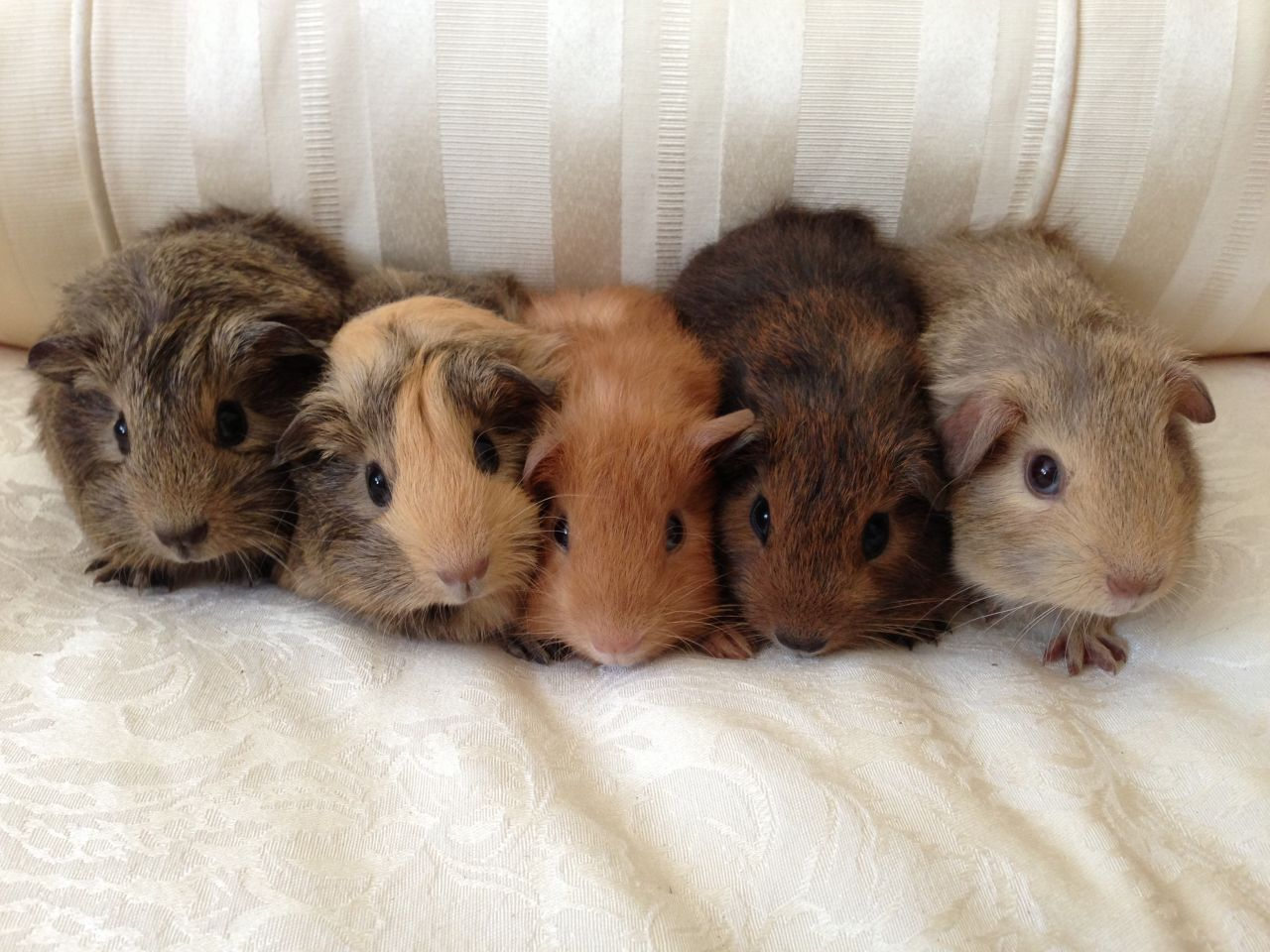 Pin On Guinea Pig And Rabbits