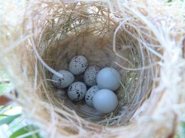 gorgeous. orchard oriole nest