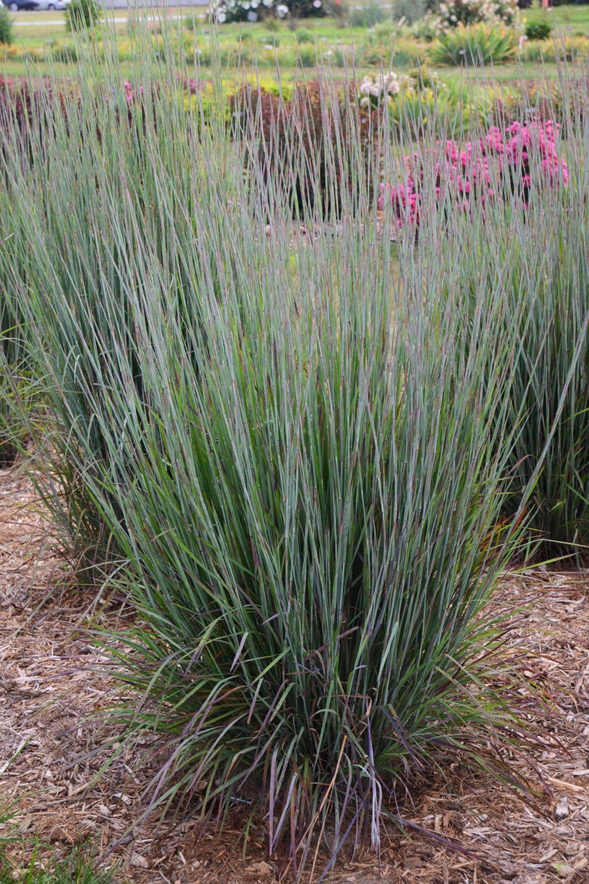 Striking Silver Blue Ornamental Grass Ornamental Grasses Lush Lawn Grasses Landscaping