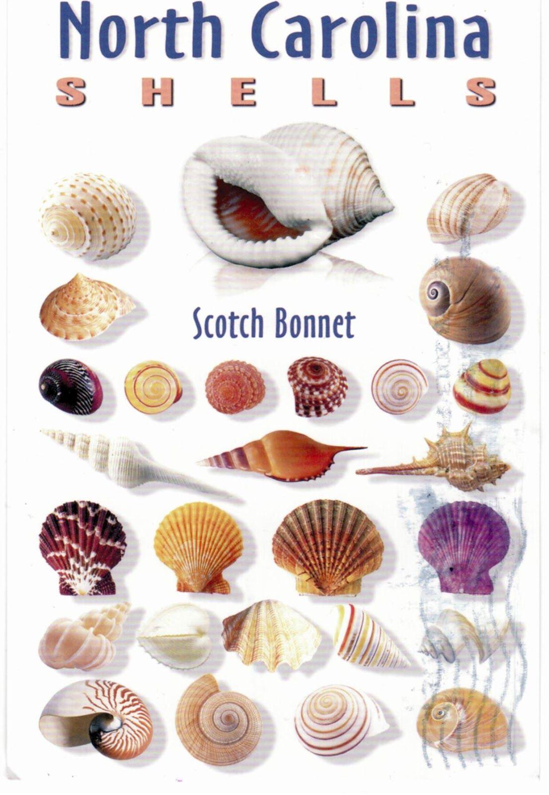 Postcards Buffet Shells Sea Shells Diy Sea Shells