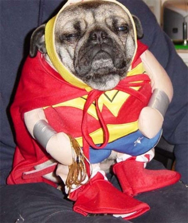 10 Photos Of Unimpressed Pugs In Costumes Cutest Pug Puppies