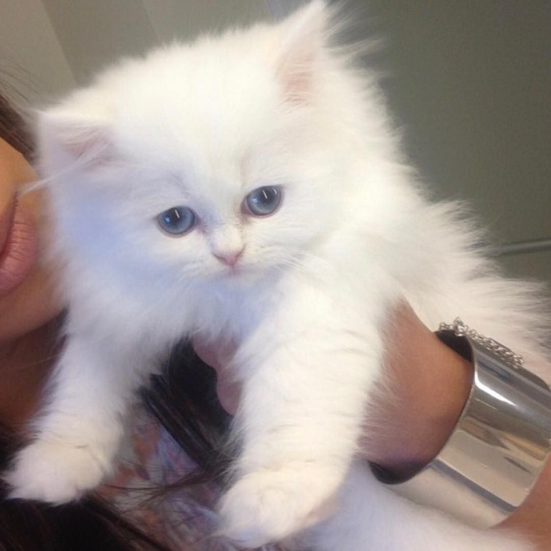 1 2m Likes 9 873 Comments Kim Kardashian West Kimkardashian On Instagram Mercy White Persian Kittens Persian Kittens Teacup Kitten
