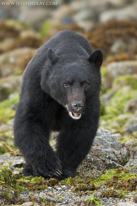 """Black Bear out for a Stroll - A Black Bear walking through the intertidal zone of coastal British Columbia, Canada.  To view more images please check out my website or """"like"""" my Facebook page  *Purchase This Photo*"""