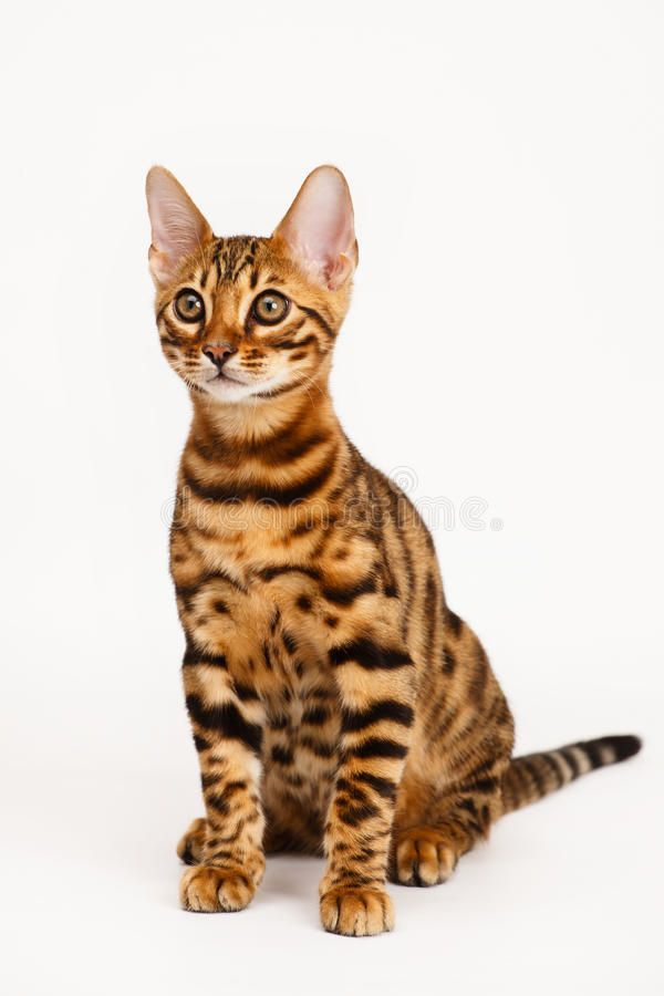 Photo about Bengal Cat on white background. Image of away