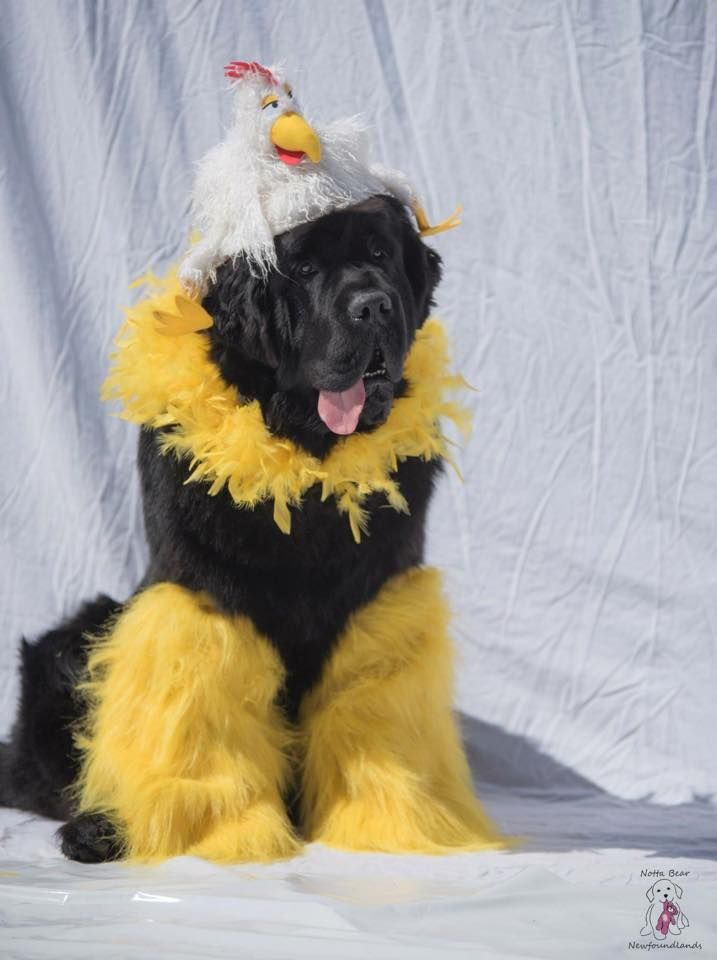 """The things we do to our newfies.....and they allow us! """"Chickanewf"""""""