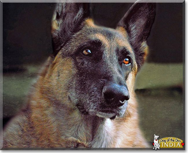 Read India's story the German Shepherd from Eau Claire, Wisconsin and see her photos at Dog of the Day http://DogoftheDay.com/archive/2013/November/09.html .