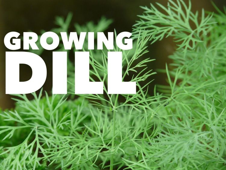 Growing Cool Season Dill is part of Home garden How To Grow - One of the most popular and useful kitchen herbs to grow in the home garden is dill  Both the plant and its seeds are useful for a variety of kitchen uses and recipes  Growing the herb is easy indoors, as well!