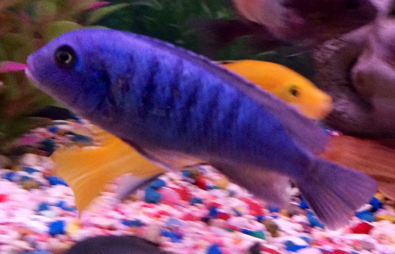 Freshwater fish looks like dolphin - Blue Dolphin Cichlid Cyrtocara Moorii