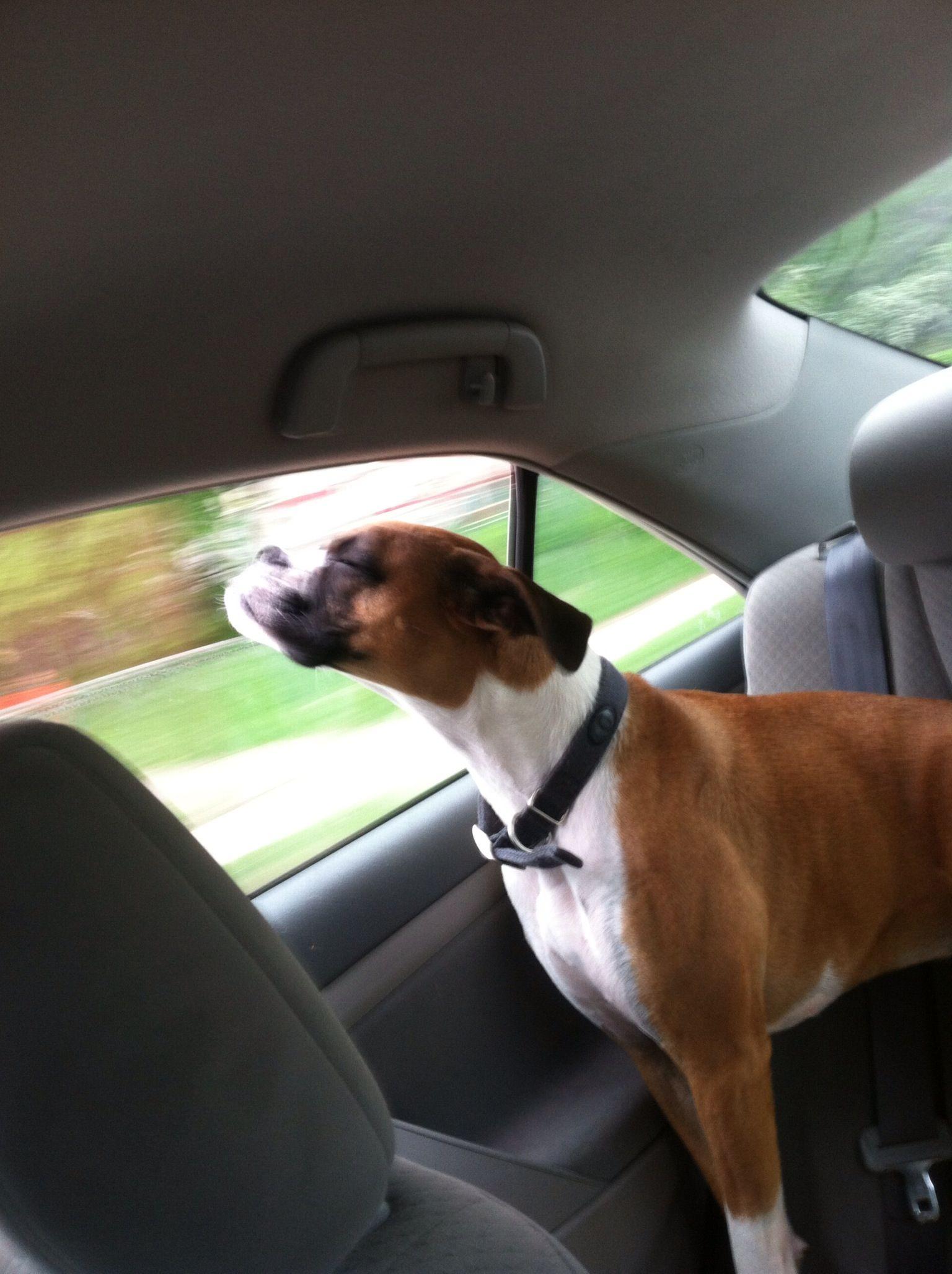 Dog Car Rides Boxer Dog Joplin Boxer Dogs I Love Dogs Dogs