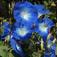 "Photo of Ipomoea tricolore ""Heavenly Blue"", Campanella rampicante, Ipomoea rubro-coerulea"