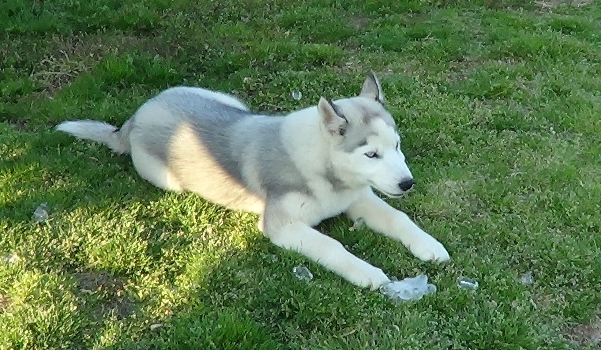Should I Clip My Siberian Huskies Coat In Hot Weather Bama
