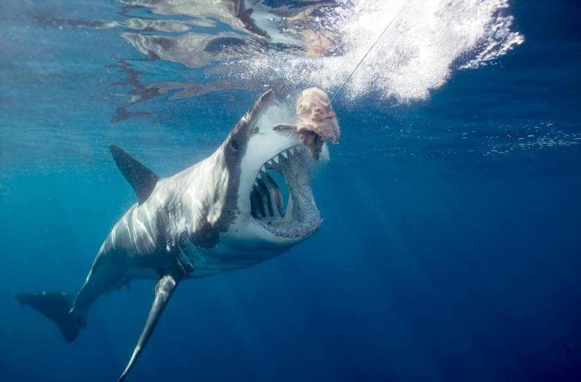 Resultado de imagen para tiburon y anzuelo