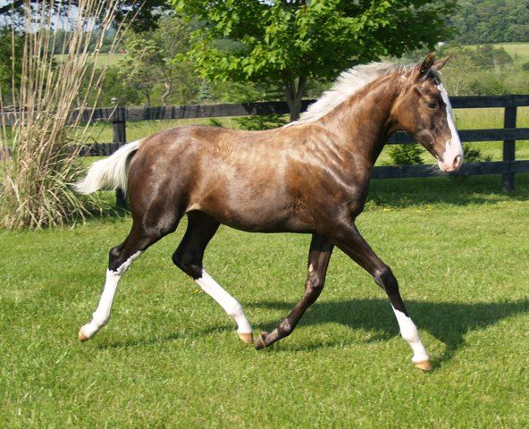 sooty palomino - Thoroughbred filly Cassie's Gold Locket looks just like the Glen breyer foal mold!
