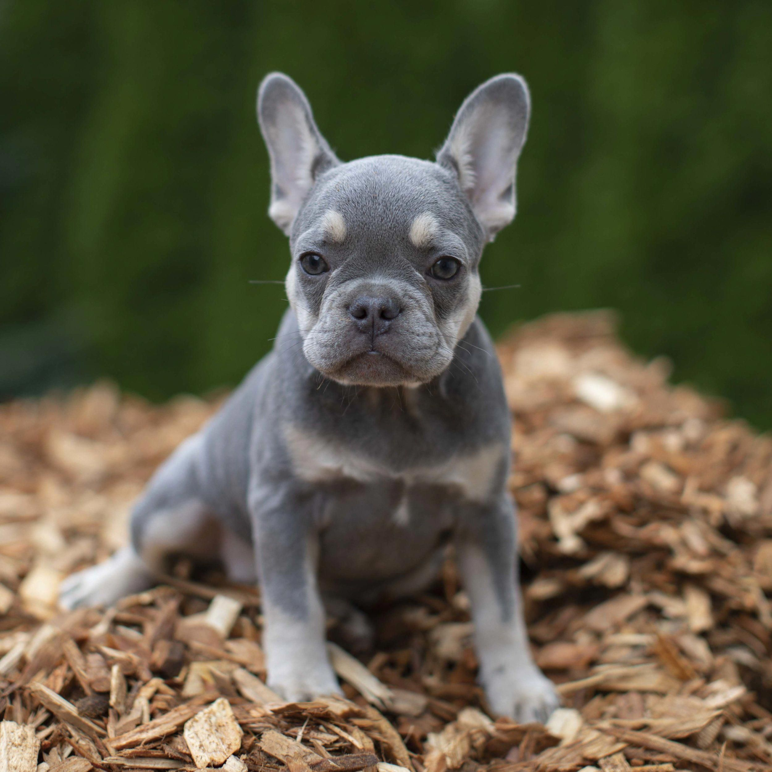 Lilac and Tan Female French Bulldog Puppy NW Frenchies