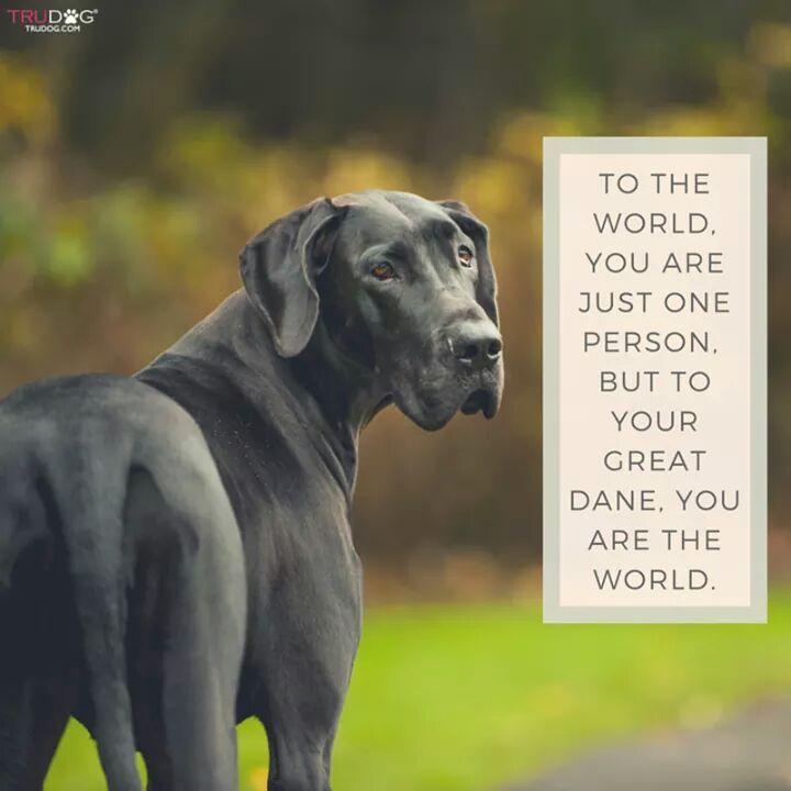 Pin By Melisa Mudek On Great Dane Great Dane Dogs Dane Dog