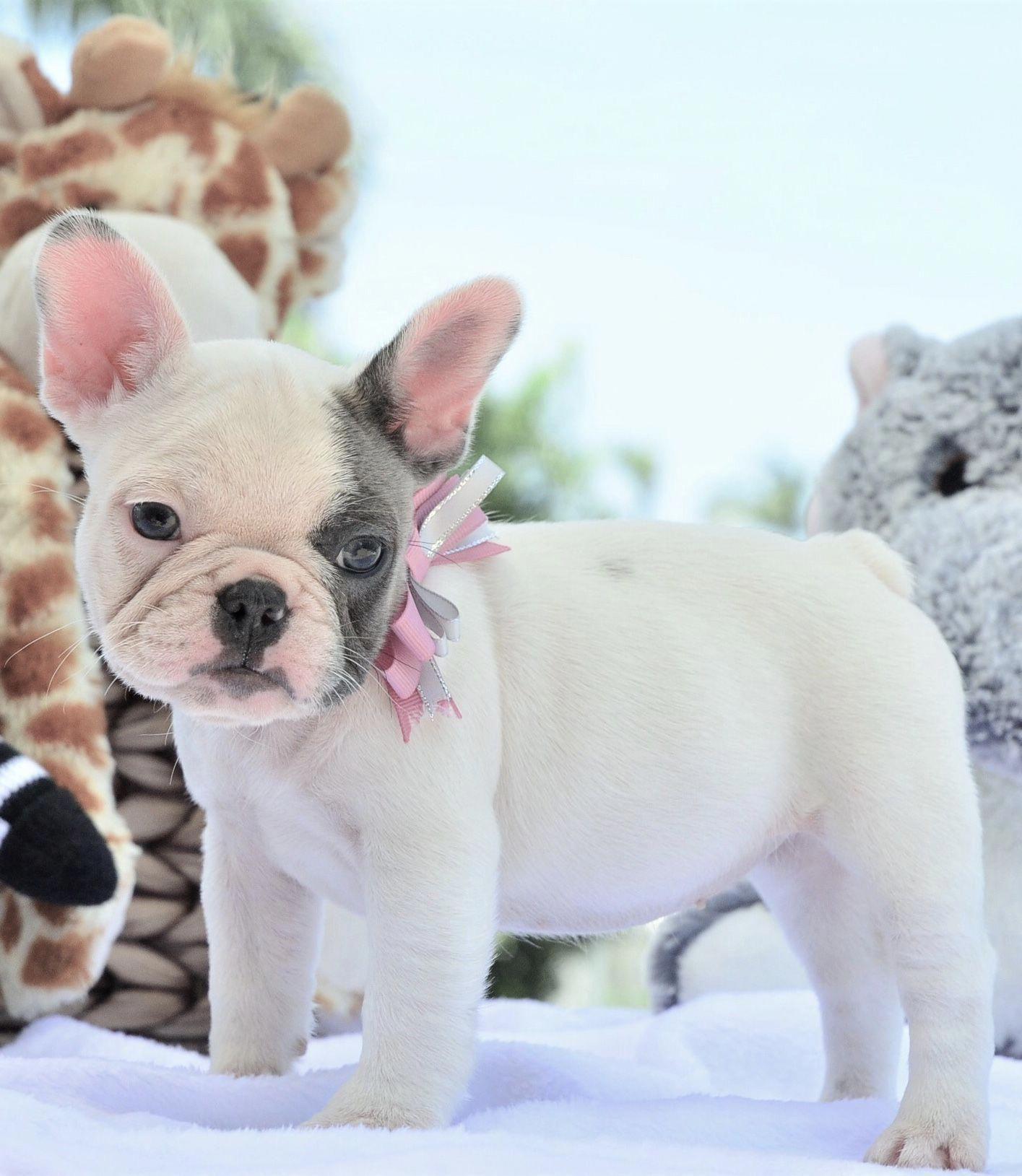 French Bulldog Playful And Smart French Bulldog Puppies Bulldog Puppies Cute Animals