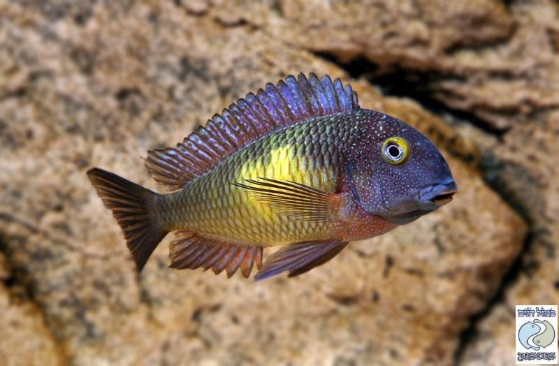 Tropheus Katoto Cichlids African Cichlids Cichlid Aquarium