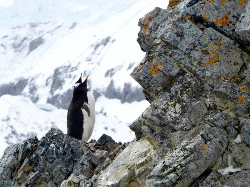 Geographic variation in Gentoo penguin calls