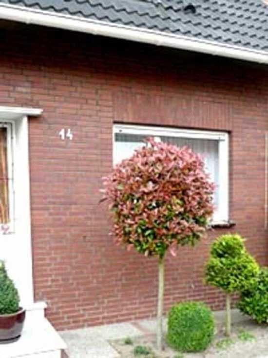 photinia fraseri 39 red robin hochstamm 39 glanzmispel 39 red robin hochstamm 39 abstellraum. Black Bedroom Furniture Sets. Home Design Ideas