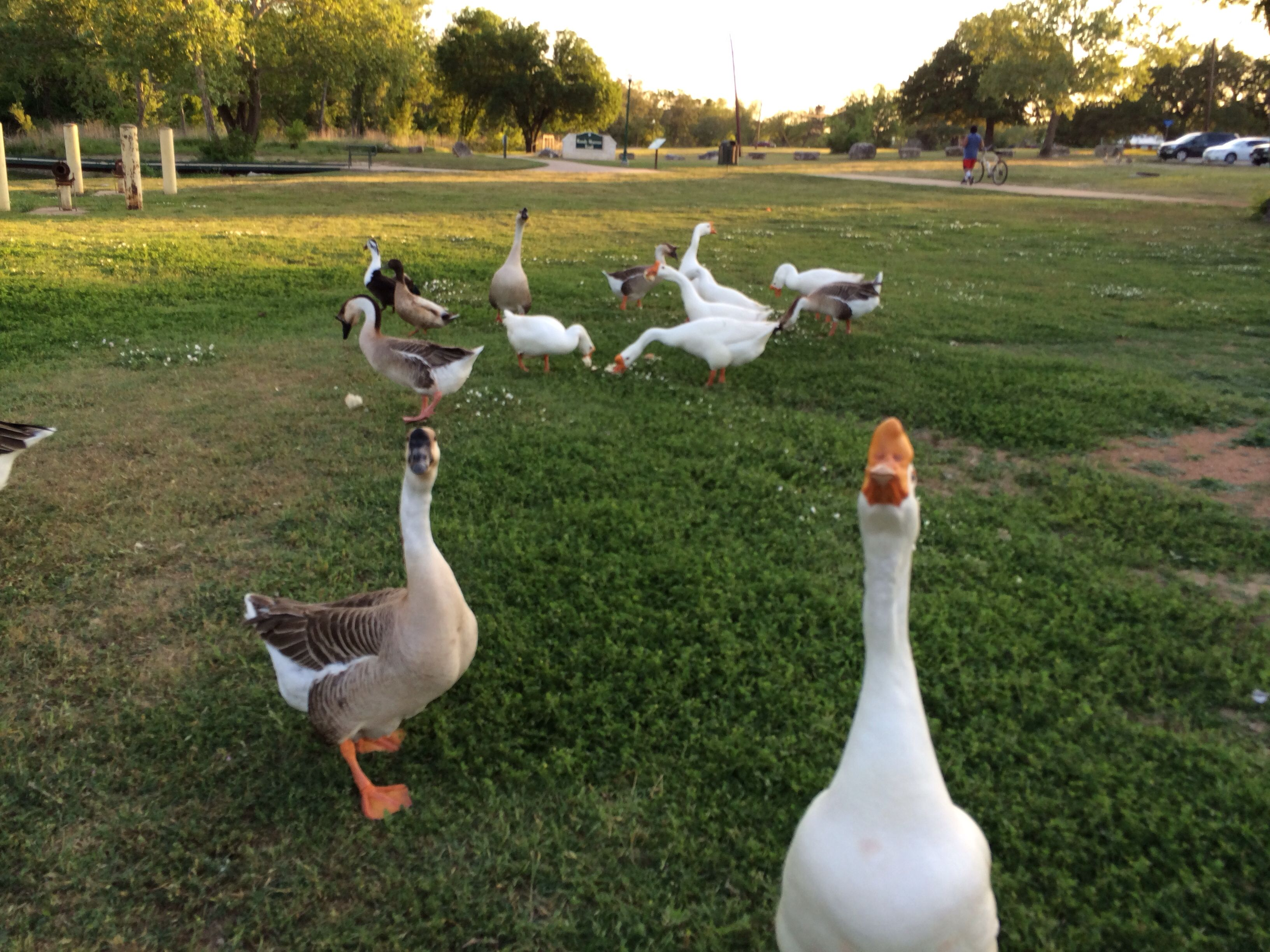 Remember to bring bread so you can feed the geese at San Gabriel Park!