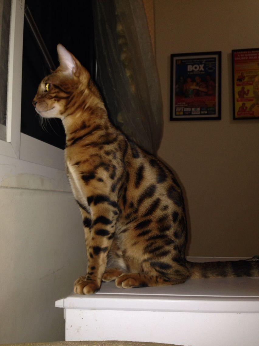 Simba mi amor gato bengal | Bengal cat in Qatar | Pinterest ...