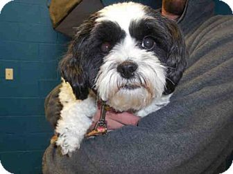 Pictures Of Gizmo A Shih Tzu X2f Toy Poodle Mix For Adoption In